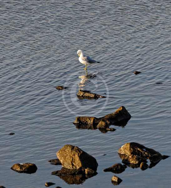 Seagull reflection