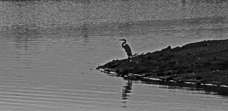 A egret waits