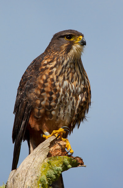 The New Zealand Falcon or Kārearea, Falco novaeseelandiae, is New Zealand's only endemic falcon and the only remaining bird of prey endemic to New Zealand