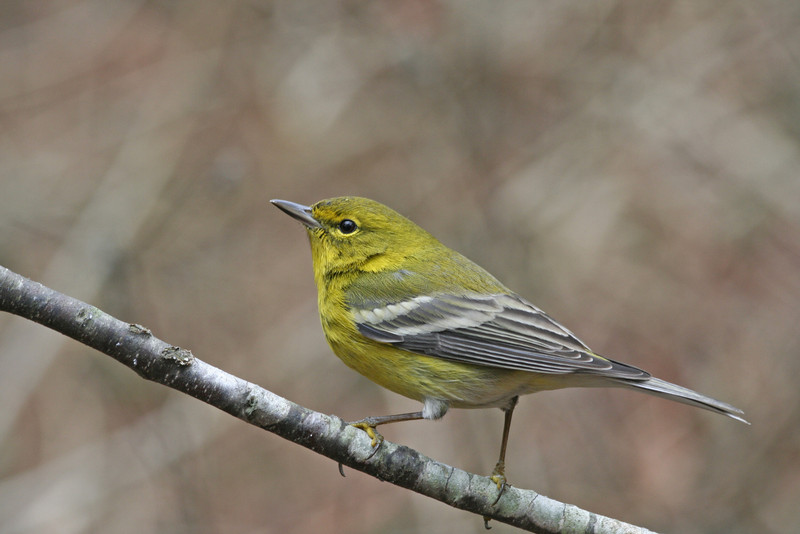 Pine Warbler (Male)
