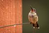 hummingbird in rain 7894-