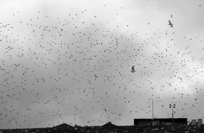 Gulls at the landfill. Fremont, CA
