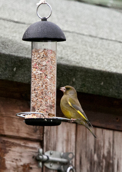 Green Finch - March 2012