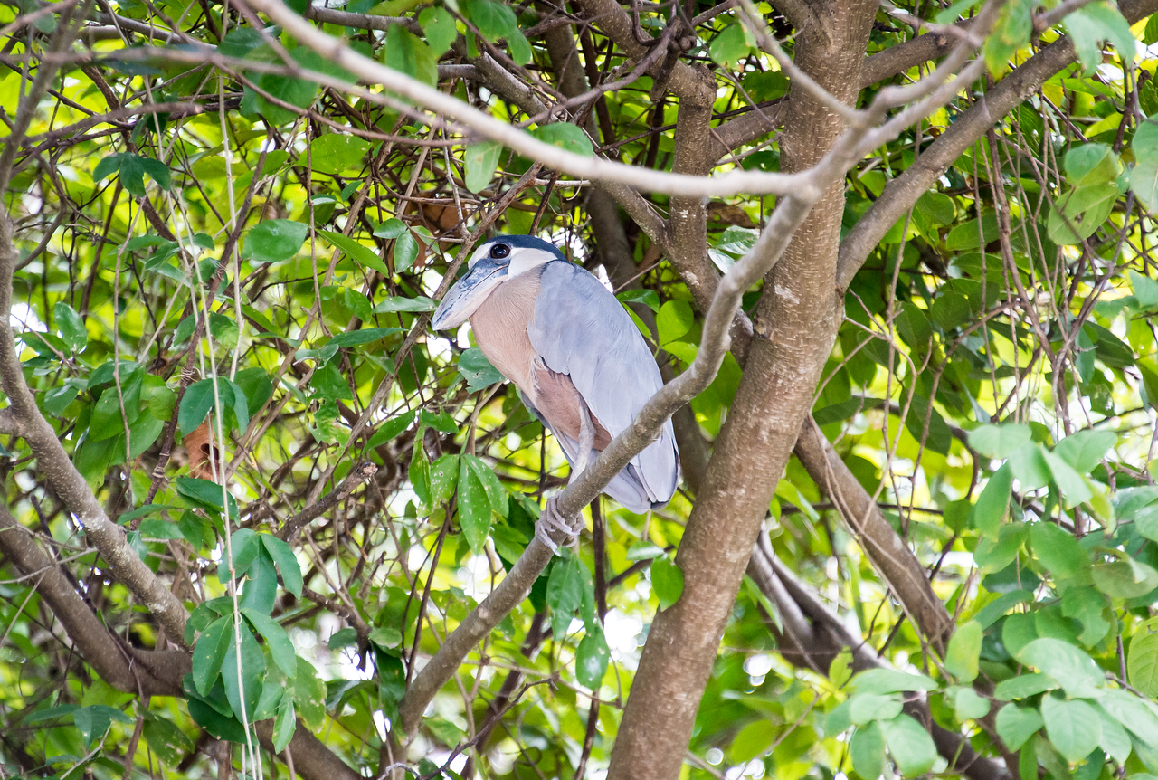 Boat-Billed Heron along the Rio Tempisque River in Palo Verde National Park, Costa Rica - December 2014