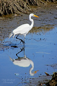 Beautiful Egret at the Oceanside marine Study Area.