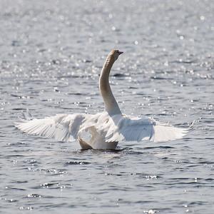 Swan at Whitehall Reservoir (MA) on 20100320