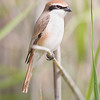 Red-backed Shrike, shot in Qatar, Canon EOS 1D Mark4 & Canon EF 800mm f/5.6L