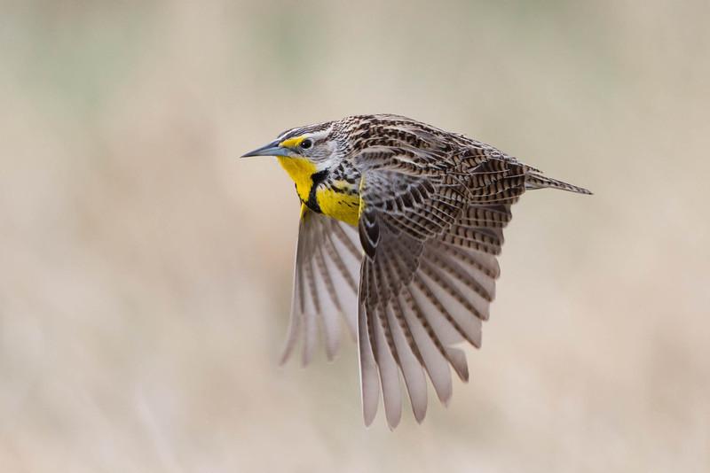 Western Meadowlark in flight.