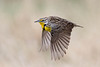Western Meadowlark in flight.