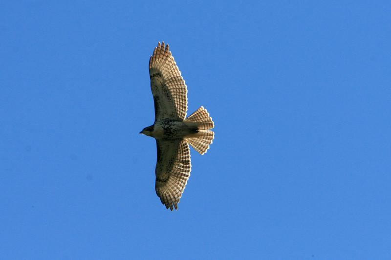 Soaring hawk.