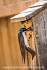 Tree Swallow Feeding Its Baby