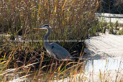 Great Blue Heron, Long Point Salt Marsh.