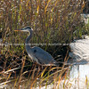 Great Blue Heron, Long Point Salt Marsh.