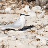 Black naped tern