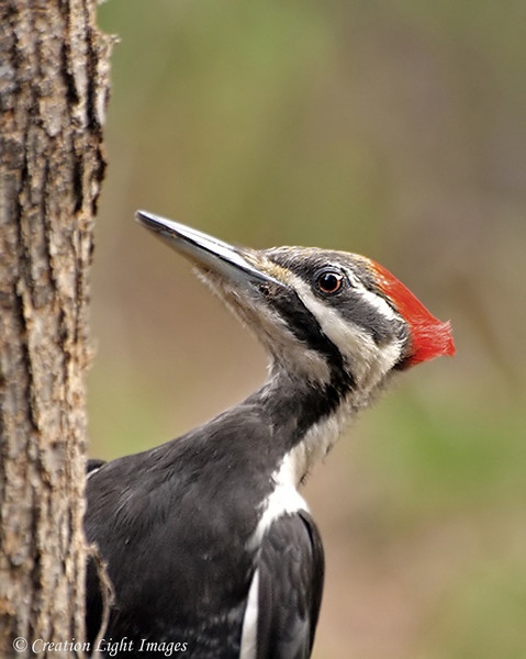 Piliated Woodpecker 2