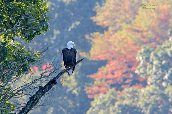 Bald Eagle on Long Island, NY.   10-03-18