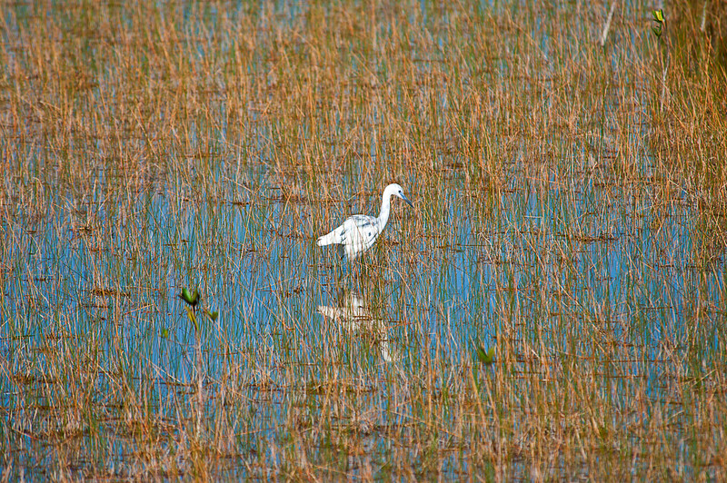 Small Blue heron in transition to adult plumage; Marsh Trail Ten Thousand Islands NWR