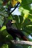 Crested oropendola (<i>Psarocolius decumanus</i>) Bahuaja-sonene National Park, Amazon, Peru