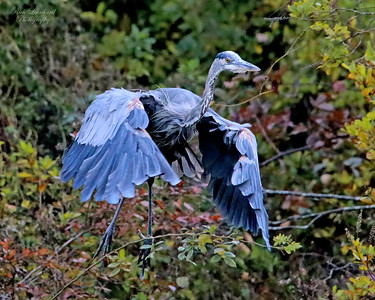 Great Blue Heron takes off on Long Island , NY.