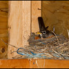 Not an 'artistic' shot, but nice nevertheless.  :o)  Found this Robin nesting in our horse shelter, in a nest made of straw and blue bailing twine.