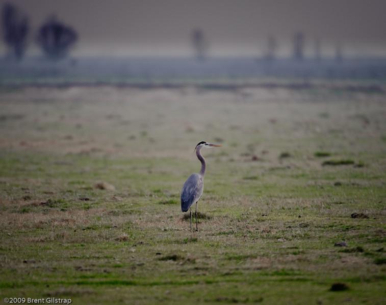Great Blue Heron<br /> <br /> Merced National Wildlife Refuge<br /> 04 February 2009