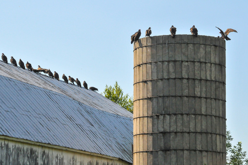 Turkey Vultures on Port Austin Barn - July 2011