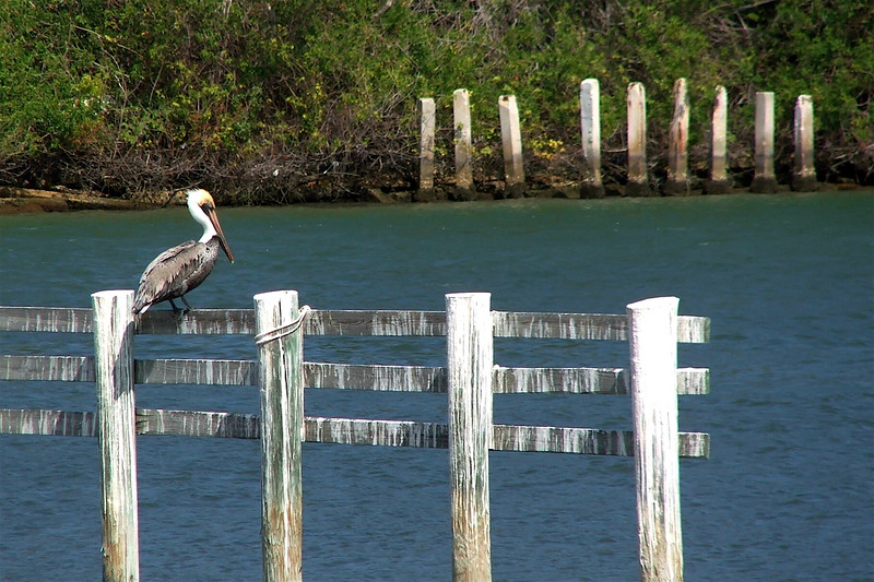 Pelican On A Fence
