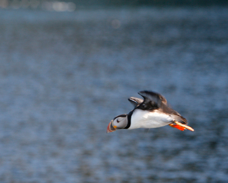 Puffins feed in the ocean