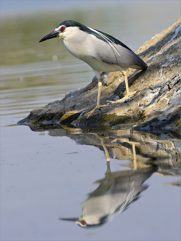 Black-crowned Night Heron , a composition