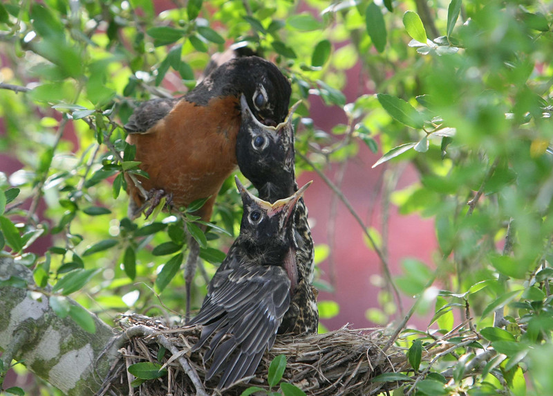 Momma Robin feeding worms to a baby