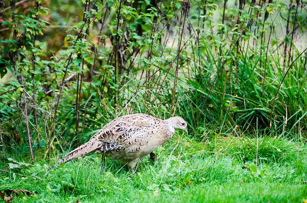 The female Pheasant