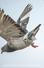 Pigeon Taking Off