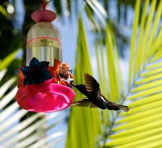 Humming bird, montane rain forest, Brazil