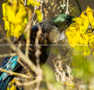 Tui native New Zealand bird feed on nectar on yellow flowers in a kowhai tree in spring