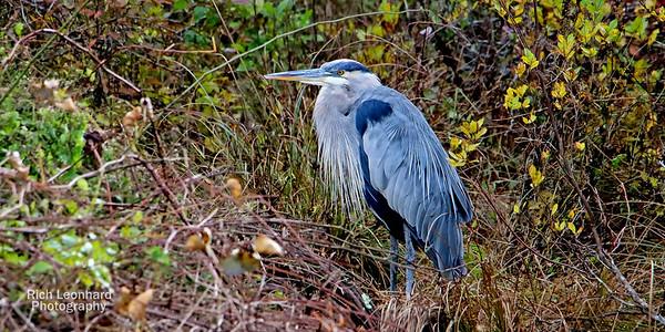 Great Blue Heron on Long Island , NY.