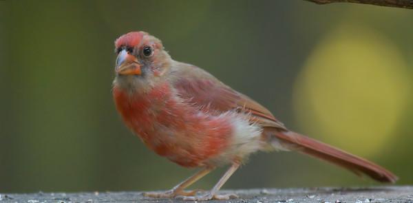 Juvenal Cardinal
