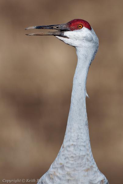 Crane Head Shot