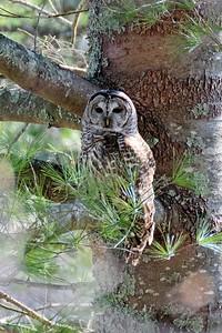 Barred Owl (Hoot Owl) - strix varia, adult northern.
