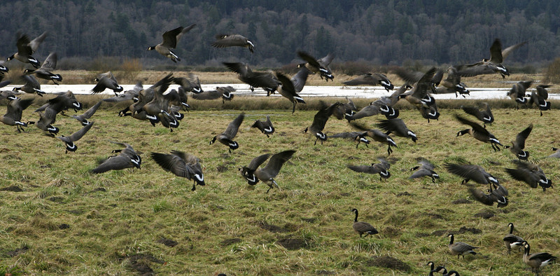 A large flock of Canadian geese (branta canadensis occidentalis) taking off after being startled. These geese were wintering in the Nisqually Wildlife Refuge.