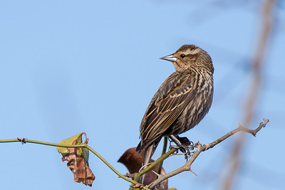 Red-winged Blackbird - Female - Females are a subdued, streaky brown, almost like a large, dark sparrow.