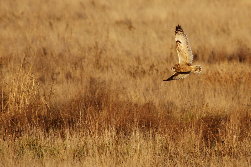Short Eared Owl on the hunt - they are very active in the last two hours before sunset.