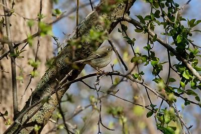 Pine Siskin - Spinus pinus, adult northern.