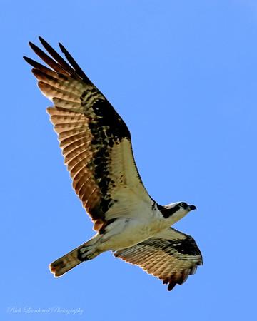 Osprey at Sunken Meadow State Park.