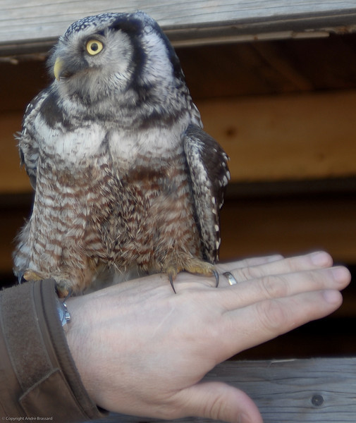 Young Northern Hawk Owl