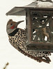 Flicker at the Feeder in the Snowstorm