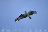 Osprey Over Siesta - MAy 2014<br /> Siesta Key, Florida<br /> (2x3)