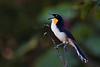 Black-capped Donacobius (<i>Donacobius atricapilla</i>) Mamiraua Reserve, Amazon, Brazil