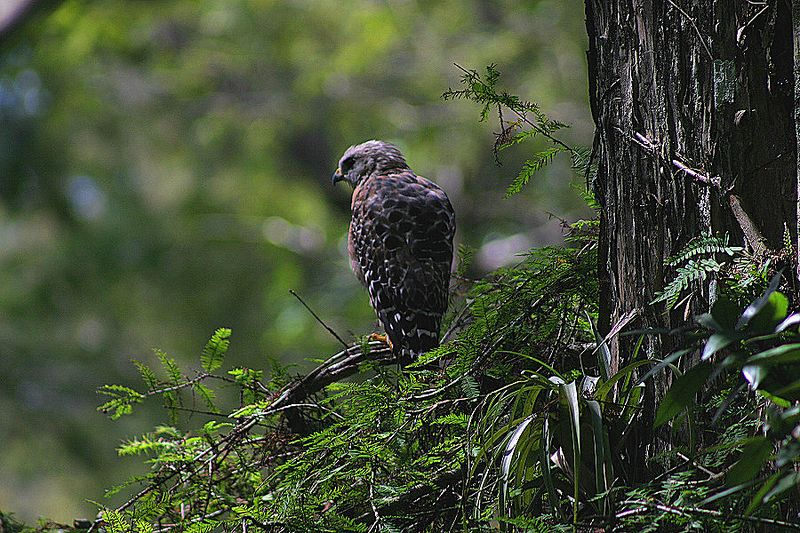"""Red Shouldered Hawk""<br> Florida, Corkscrew Swamp Sanctuary<br>"