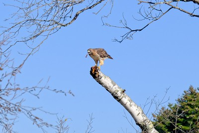 Red-tailed Hawk - Buteo jamaicensis.