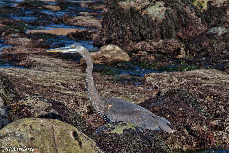 Blue Heron hunting the tide pools